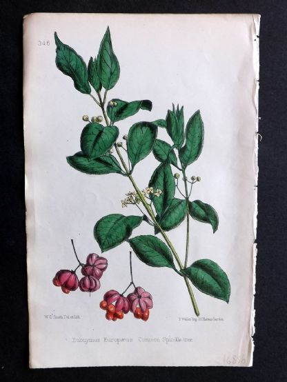 Hogg & Johnson 1860's Hand Col Botanical Print. Common Spindle-Tree 346